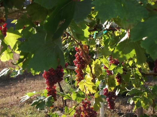 grapes-03